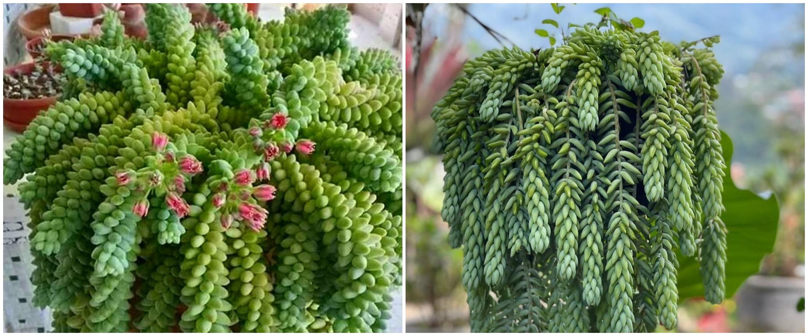 Cara merawat tanaman hias gantung kaktus anggur, rimbun dan cantik