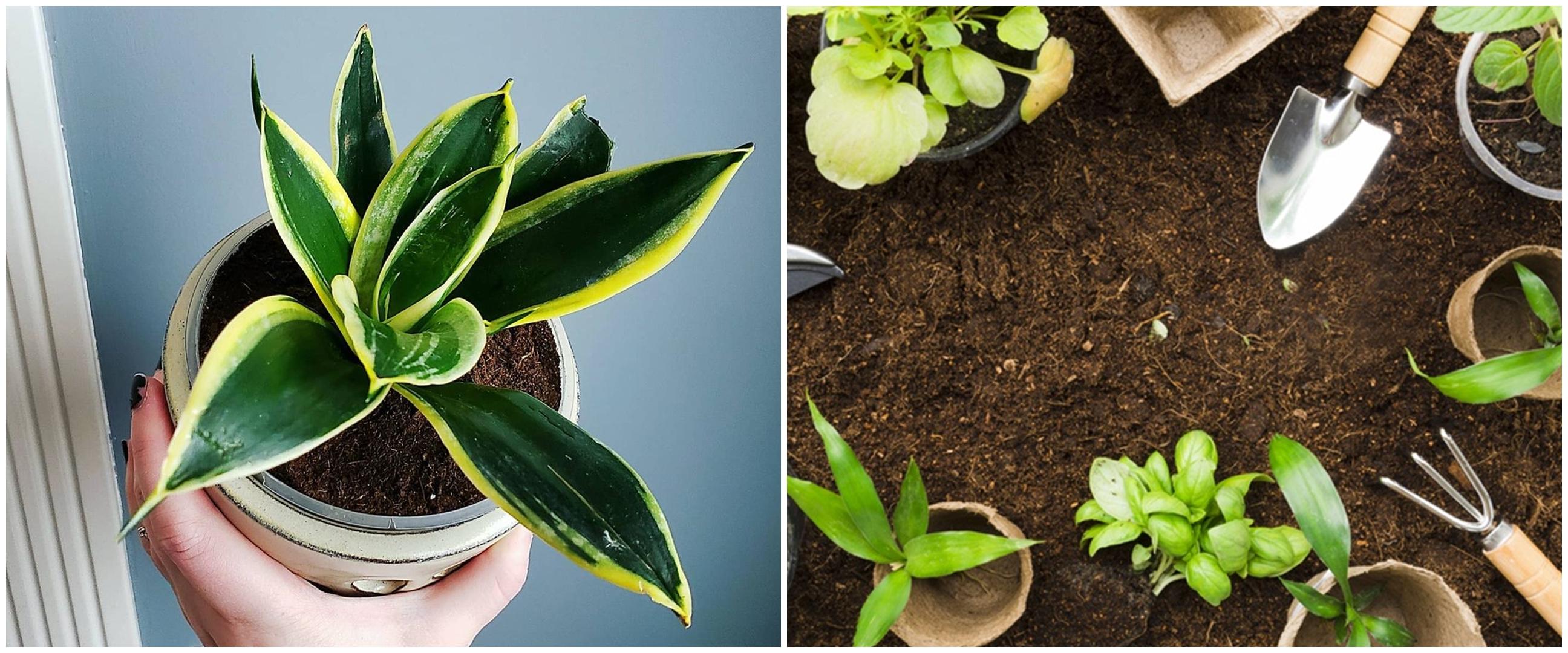 Cara repotting lidah mertua, bikin tanaman tumbuh subur dan sehat