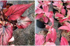 Harga keladi merah daun panjang dan cara merawatnya