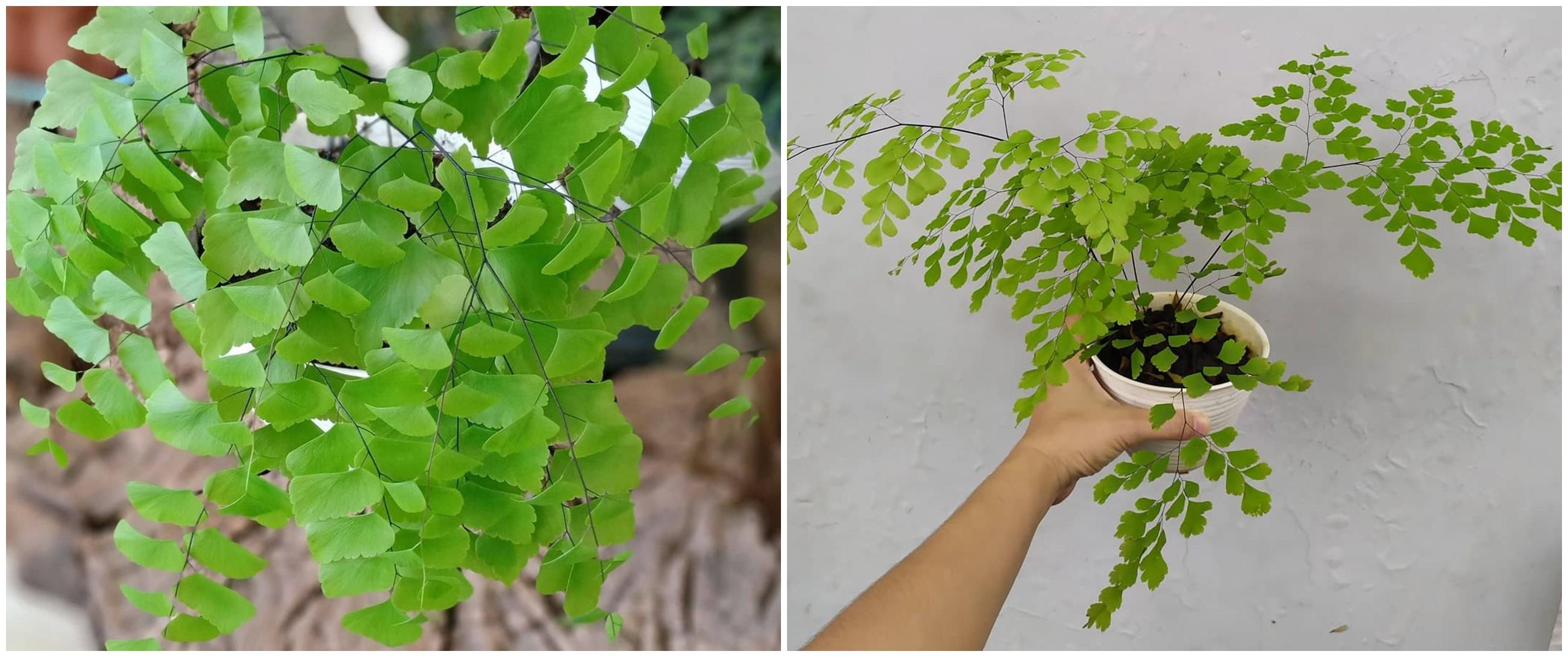 Cara merawat dan menanam tanaman hias daun suplir, menyejukkan rumah