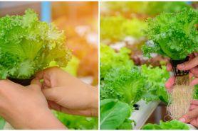 5 Cara menanam selada hidroponik di rumah, cocok buat pemula