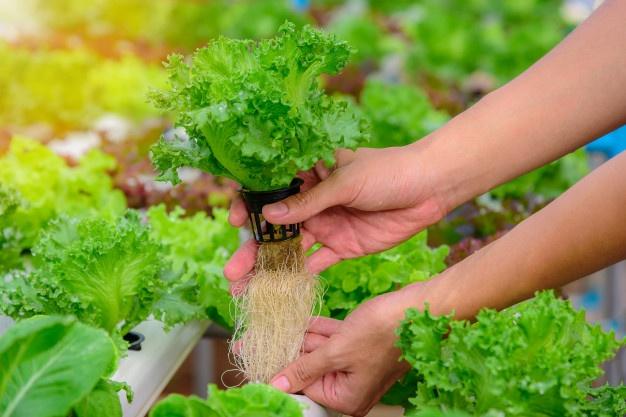 menanam selada hidroponik © freepik.com