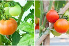 6 Cara menanam tomat hidroponik di rumah, mudah dan sederhana