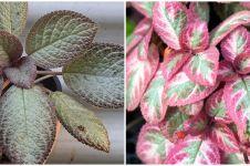 10 Jenis tanaman hias Episcia atau daun beludru, untuk dekorasi rumah