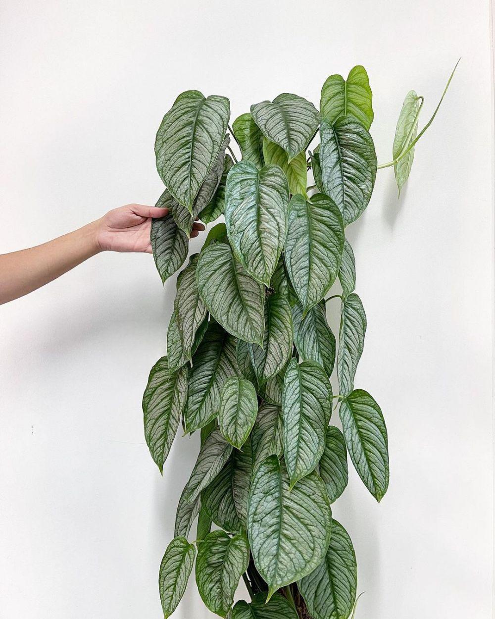 tanaman hias monstera media air © Instagram
