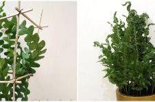 5 Tanaman hias daun keriting, unik dan indah dipandang