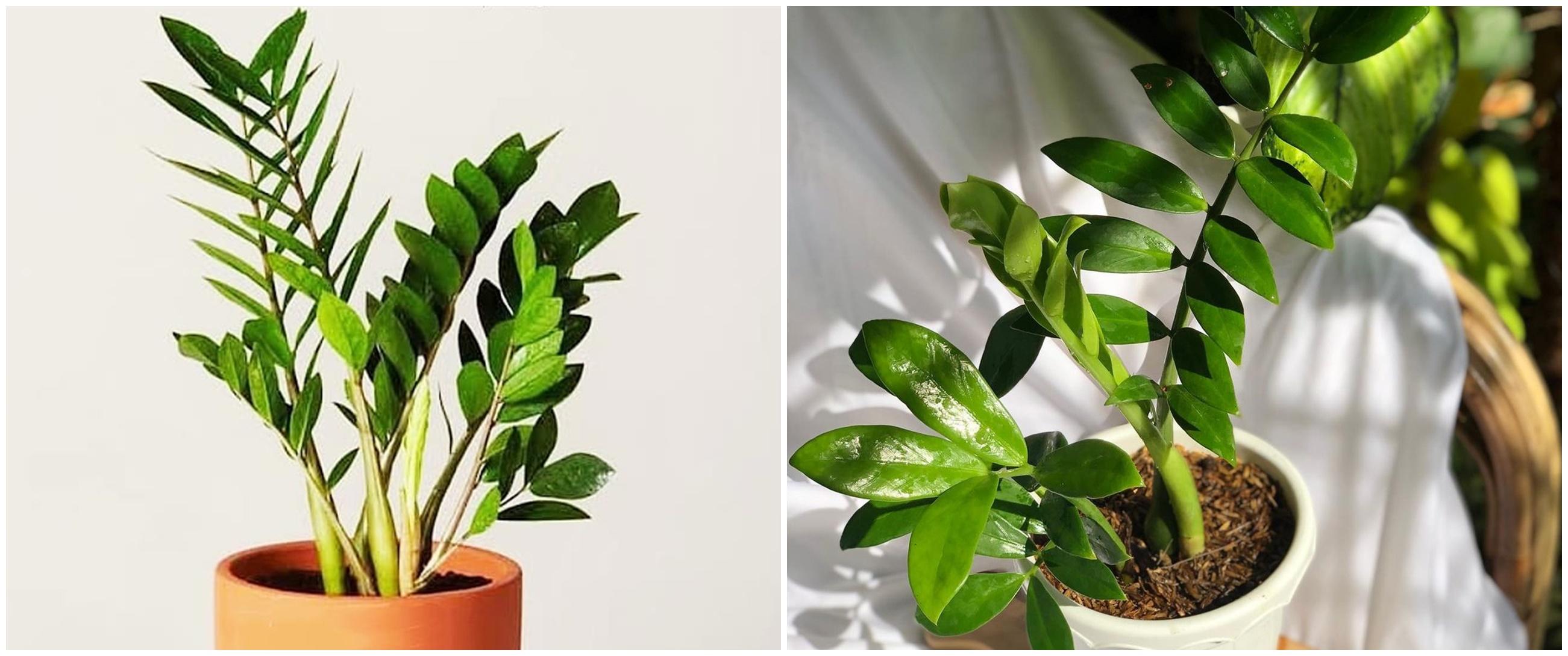 Fakta tanaman hias daun dolar dan cara merawatnya