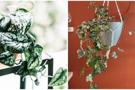 Harga 10 tanaman hias gantung daun merambat, rumah kian sejuk
