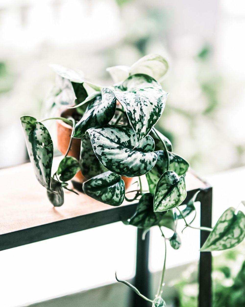 harga tanaman hias gantung ©Instagram