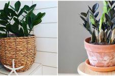 Cara merawat janda bolong zamia, tanaman hias dengan tampilan cantik