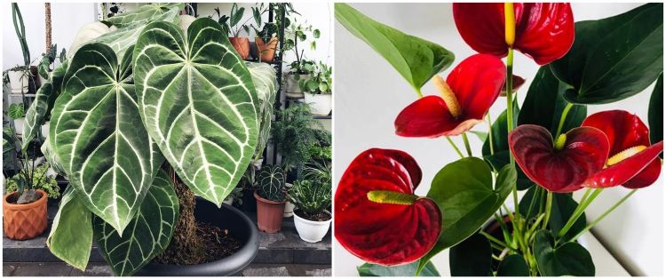 5 Tanaman hias daun love, cocok untuk hiasan rumah