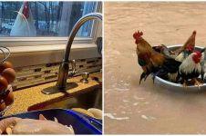 10 Tingkah kocak ayam di tempat umum ini lucunya bikin geleng kepala