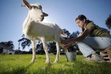 Supergoat, susu kambing asal Yogyakarta ini pas diminum saat pandemi