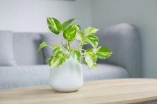 4 Manfaat tanaman sirih gading, atasi masalah pernapasan