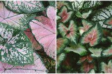 6 Keladi wayang ini miliki warna eksotis, ada campuran merah-hijau