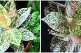 Cara menanam bunga aglonema golden hope, mudah dan simpel