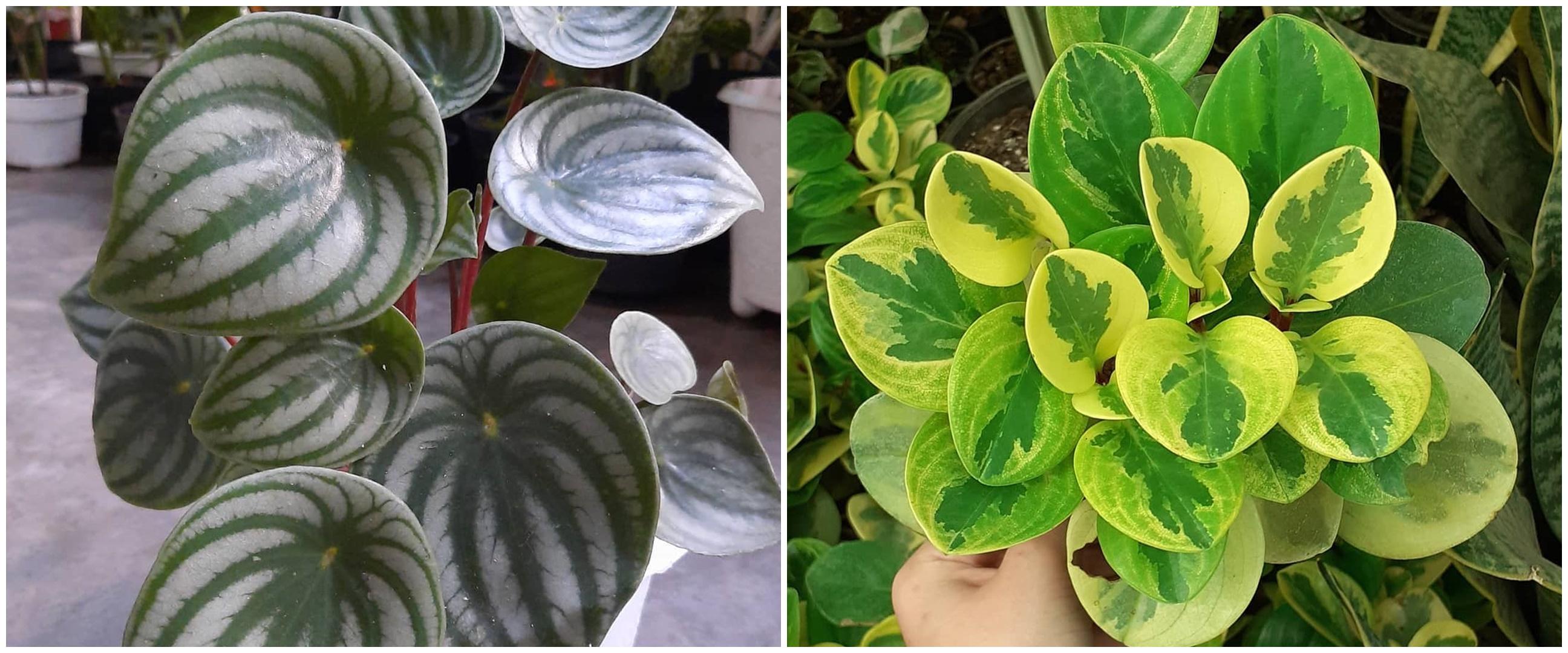 10 Tanaman hias daun semangka Peperomia, cantik dan mudah dirawat