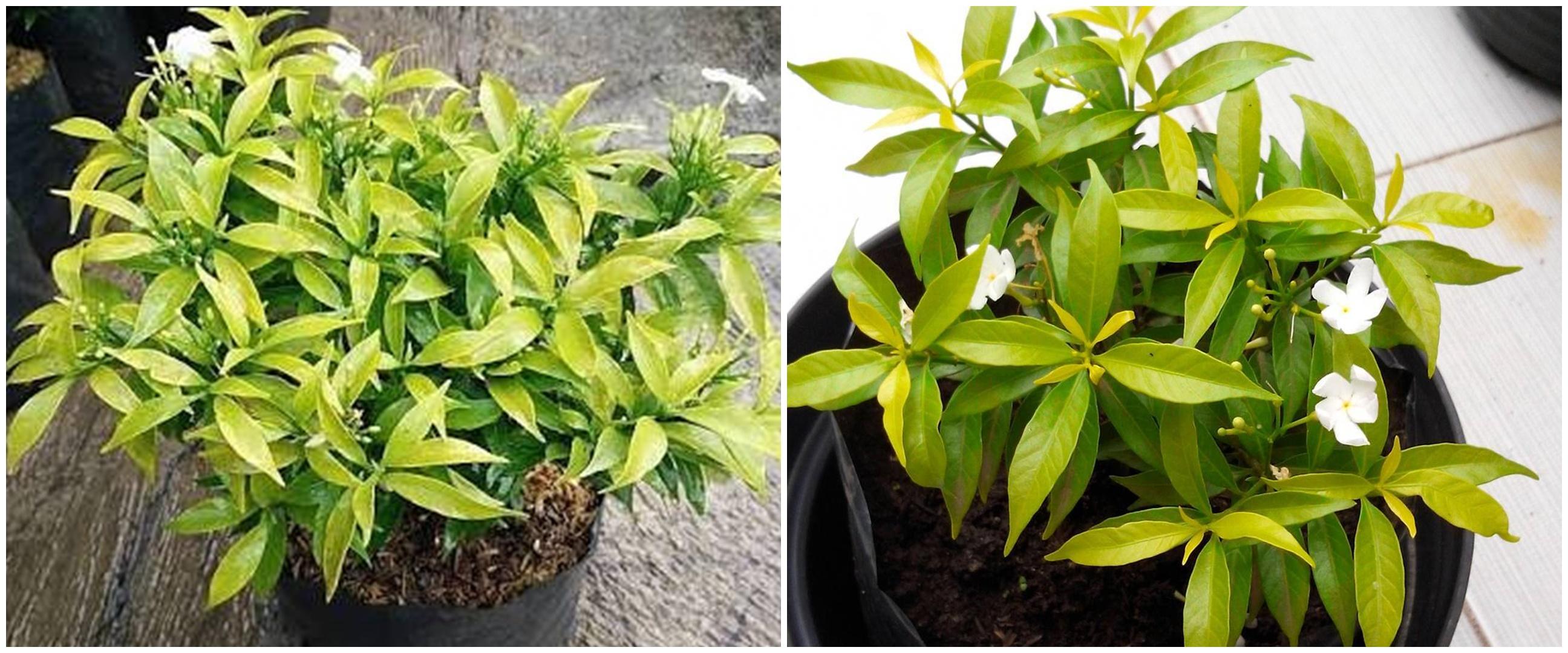 8 Cara merawat tanaman hias gantung bunga sabrina, mudah dan efektif