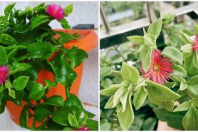 Cara merawat tanaman hias gantung baby sun rose agar subur