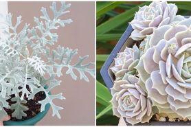5 Tanaman hias daun perak yang eksotis, rumah jadi lebih cantik