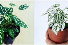 Mengenal keladi liliput, tanaman hias mini mempercantik ruangan