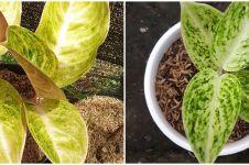Cara merawat bunga aglonema claudia agar indah dan menawan