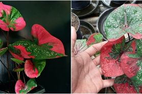 Cara merawat keladi merah baret agar subur dan rimbun