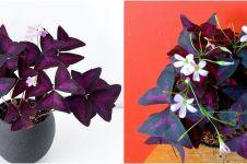 Cara merawat tanaman hias daun kupu kupu, cantik dan eksotis