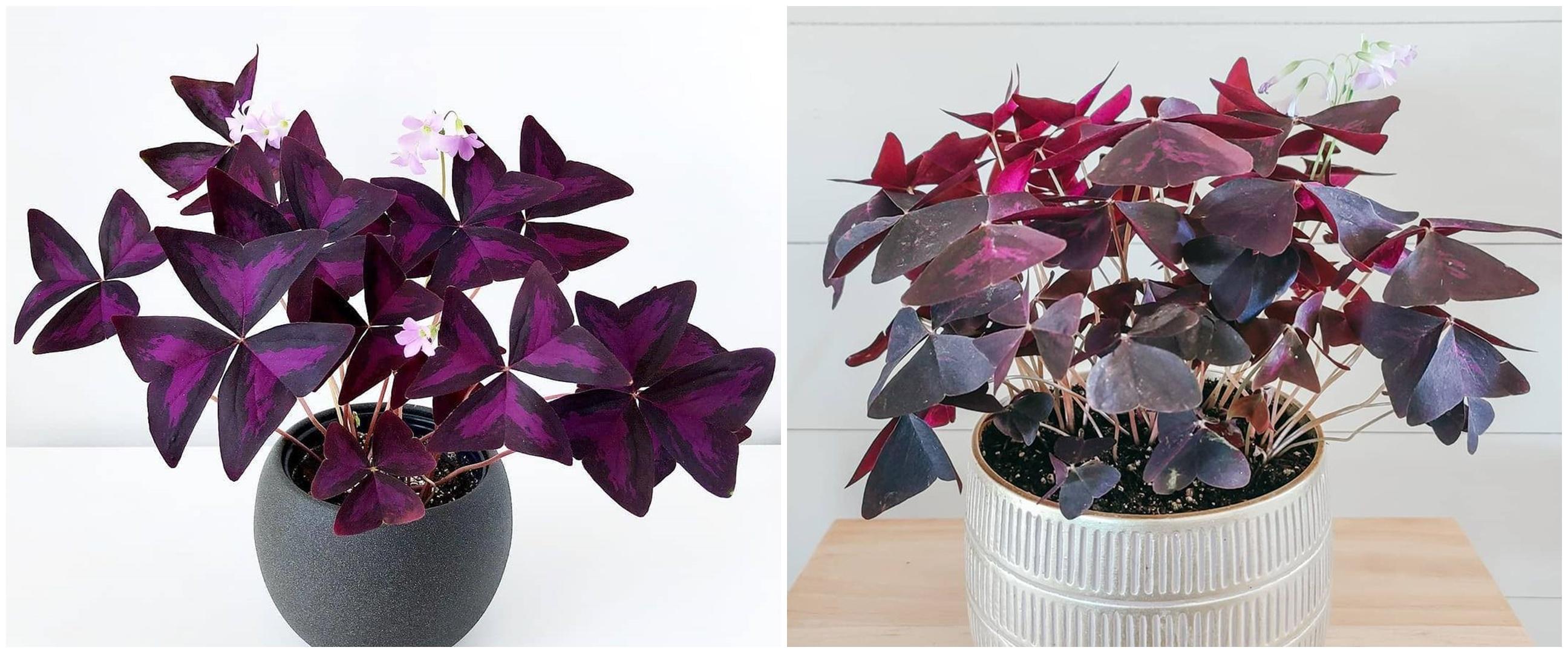 Mengenal tanaman hias bunga kupu-kupu, menawan dengan rona ungu