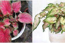 7 Jenis keladi hijau merah, cantik dan cocok untuk hiasan rumah