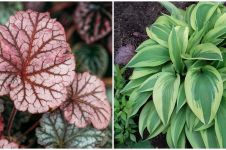10 Jenis tanaman hias daun yang paling ramai dicari, termasuk keladi