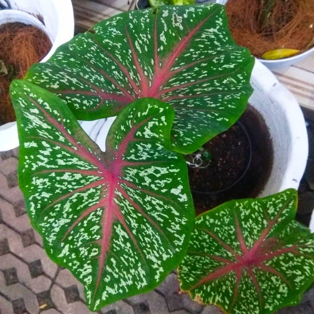 Cara merawat tanaman keladi di area indoor © Instagram