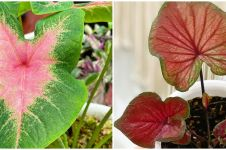 Cara merawat tanaman keladi di area indoor, perhatikan pilihan lokasi
