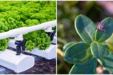 Permasalahan yang kerap muncul pada tanaman hidroponik dan solusinya