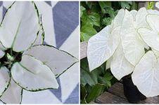 6 Jenis tanaman hias daun putih, indah dan perawatan mudah