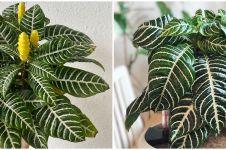 Cara merawat tanaman hias daun zebra agar subur dan menawan