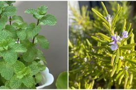 5 Jenis tanaman obat yang dapat digantung, mudah dirawat dan antiribet