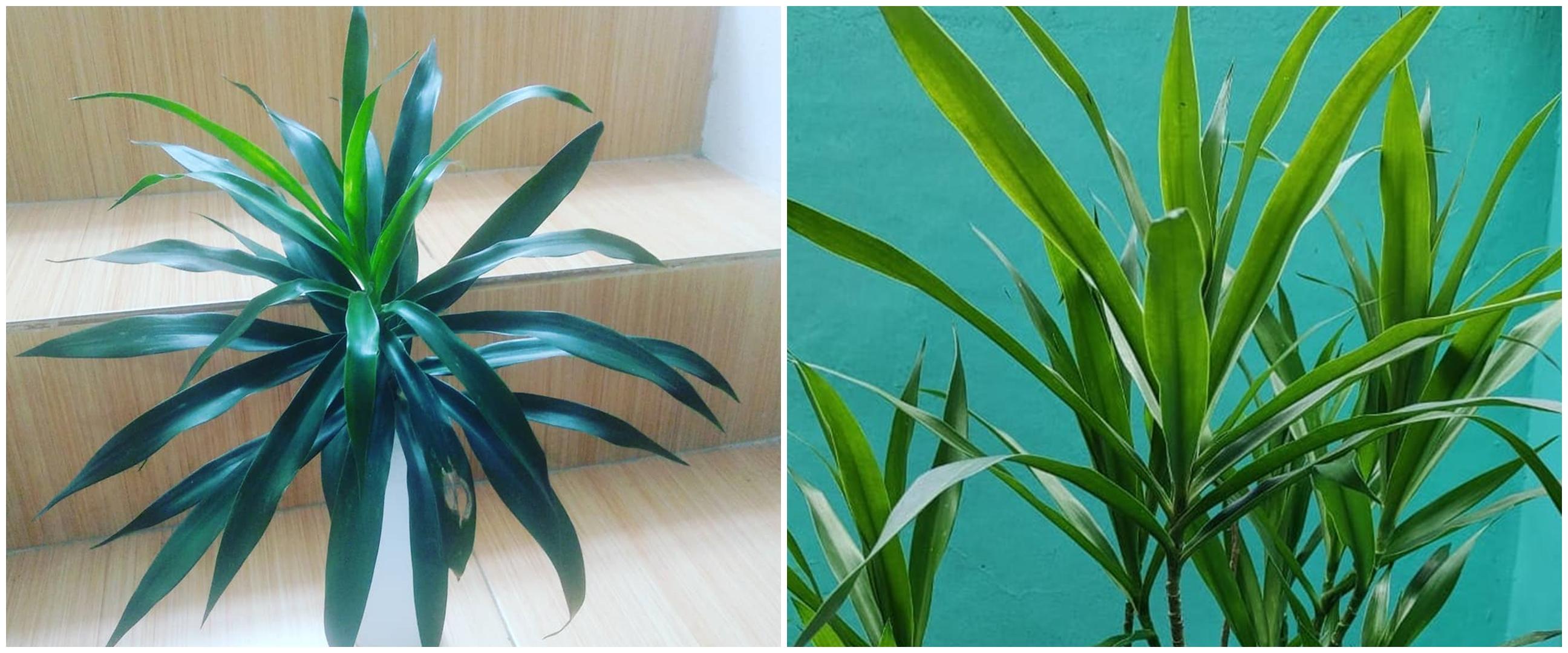 Cara menanam tanaman hias daun suji yang memiliki banyak manfaat