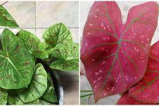 Cara merawat tanaman keladi outdoor, tetap segar dan antilayu