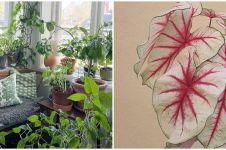 Cara merawat tanaman keladi agar tumbuh sehat, subur, dan antilayu