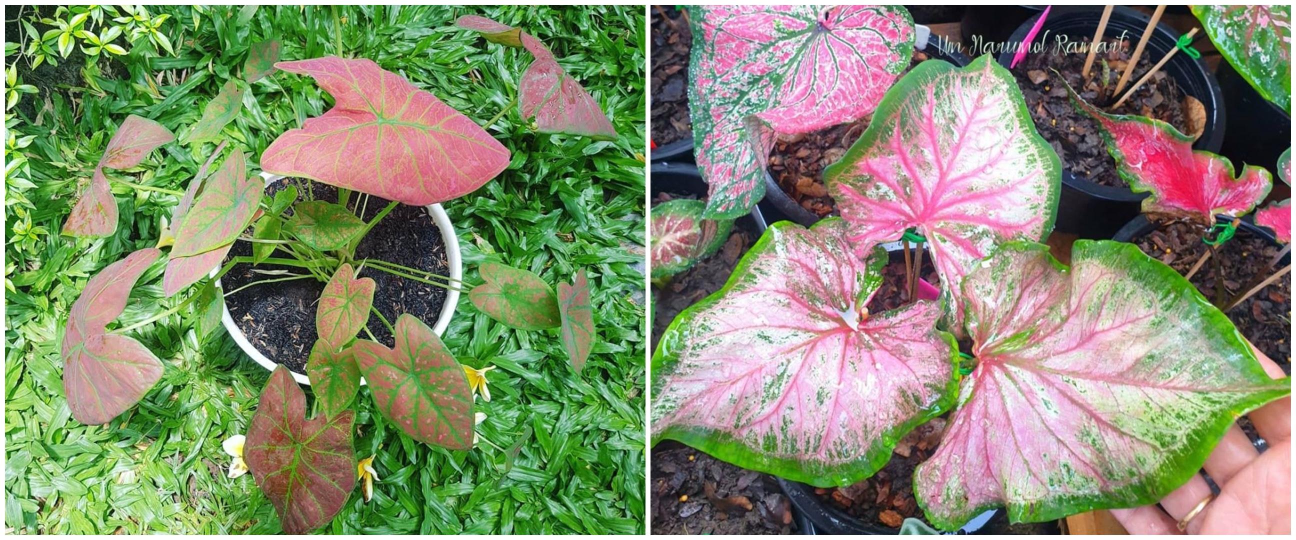 Cara memperbanyak tanaman keladi untuk pemula, simpel untuk diikuti