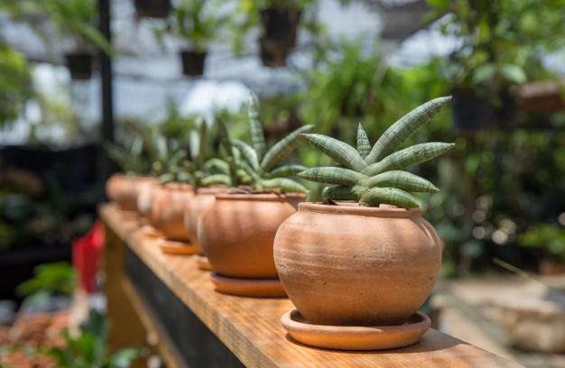 tanaman lidah mertua menurut feng shui © 2021 brilio.net