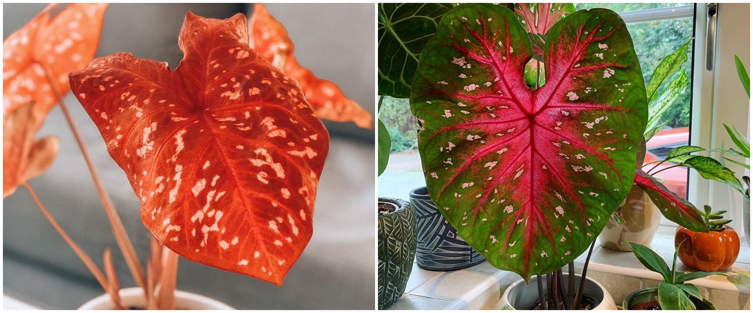 8 Jenis tanaman keladi berbintik yang cantik dengan corak unik