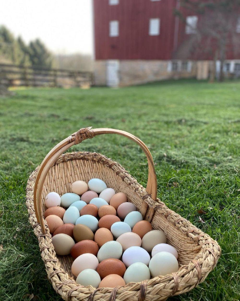 Perbedaan telur bebek dan ayam © berbagai sumber