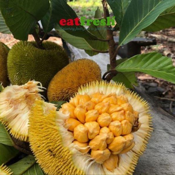 4 perbedaan buah nangka dan buah cempedak © berbagai sumber
