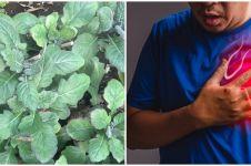 17 Manfaat daun dewa, dapat mengobati penyakit rematik hingga kanker