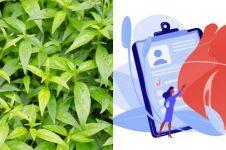 10 Manfaat daun sambiloto untuk kesehatan, mencegah penyakit jantung