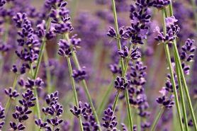 8 Manfaat bunga lavender untuk kecantikan, mengatasi bibir pecah-pecah