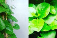 8 Manfaat daun binahong untuk kecantikan, mampu hilangkan komedo