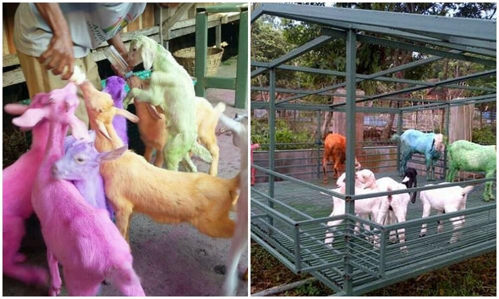 penampakan hewan kurban © 2021 berbagai sumber